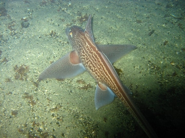 Ratfish - bottom feeding - In crystal clear water